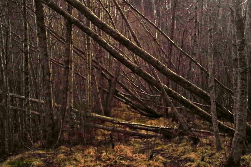 Von Sturm umgewehte Bäume